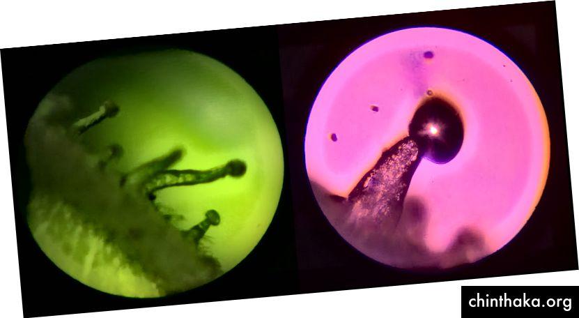 Trichome sichtbar von Black Lime (links) und Oregon Lemons (rechts) unter dem Mikroskop.