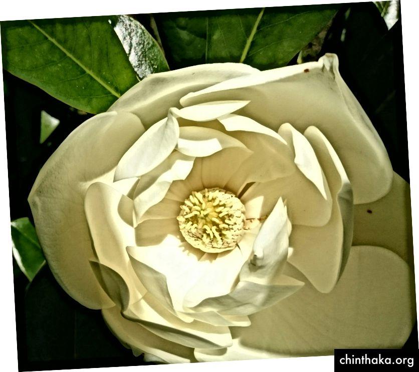 Magnolia grandiflora (forfatterfoto)