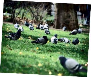 Stormo di piccioni in un parco