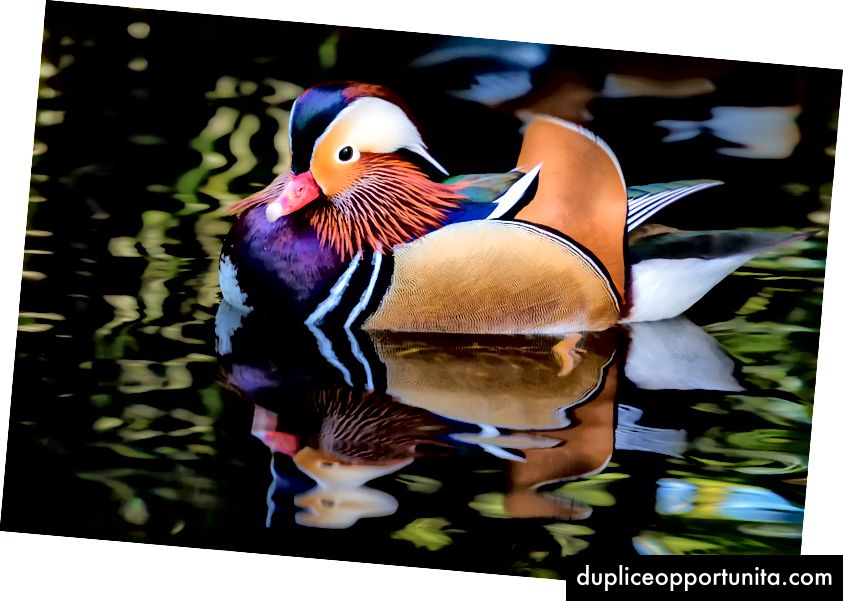 Mandarin Duck - Malcolm Carlaw (CC-BY-2.0)