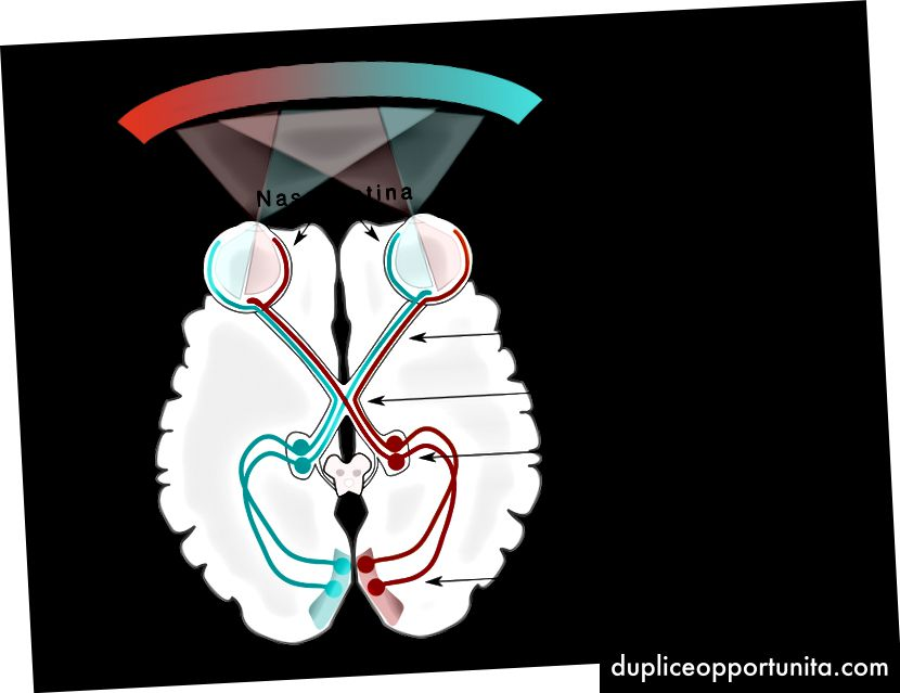 Visuaalinen polku. - Lähde: https://commons.wikimedia.org/wiki/File:Human_visual_pathway.svg