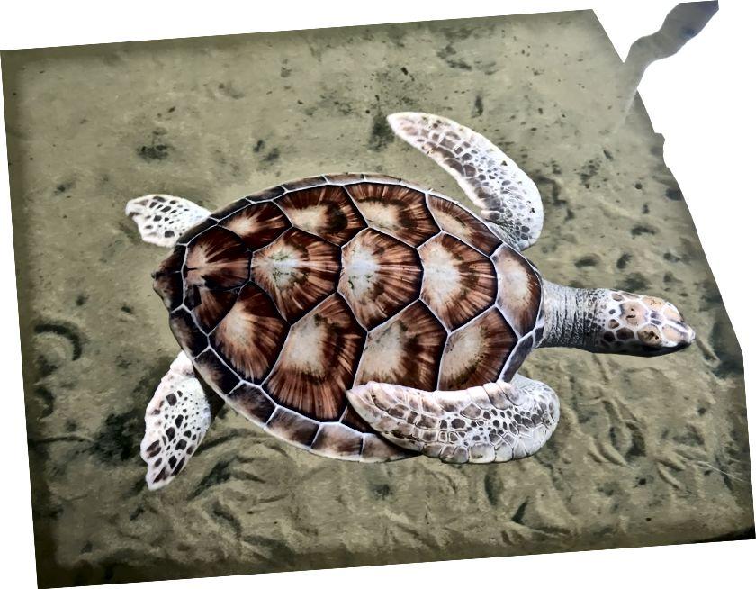 Черепаха-альбінос (дуже рідко - 1 мільйон черепах є альбіносом)