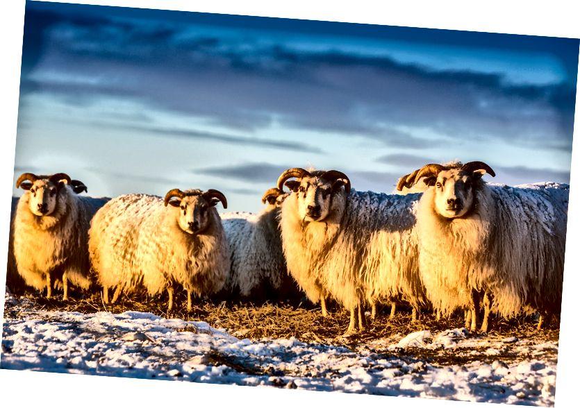İzlanda Koyunları, Vogar