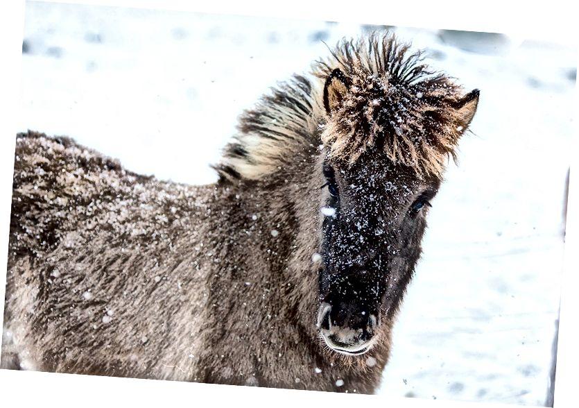 Borgarfjordur, İzlandalı bebek at