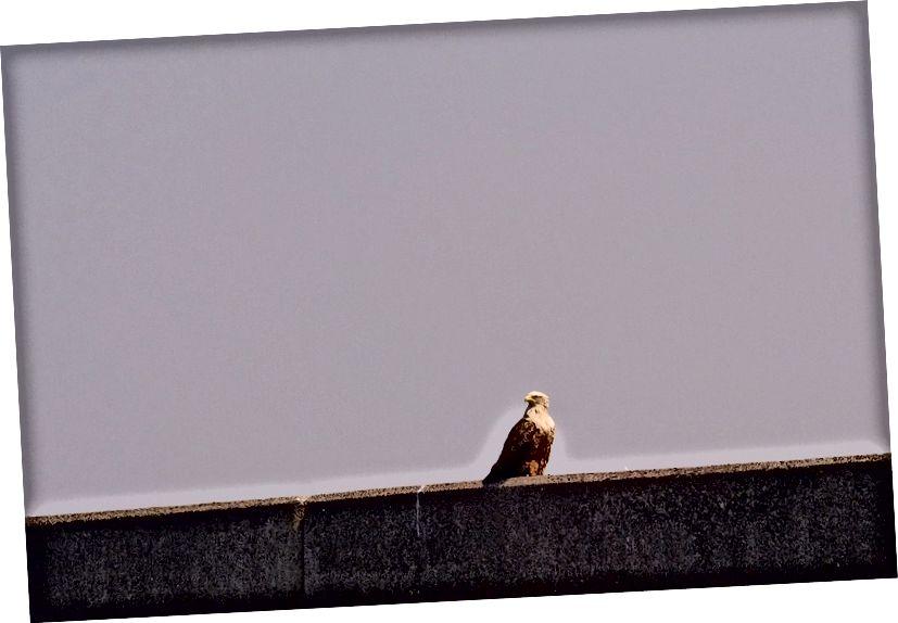 Stellar'ın deniz kartalları - Shiretoko bu muhteşem kuşlar için önemli bir kışlık yer