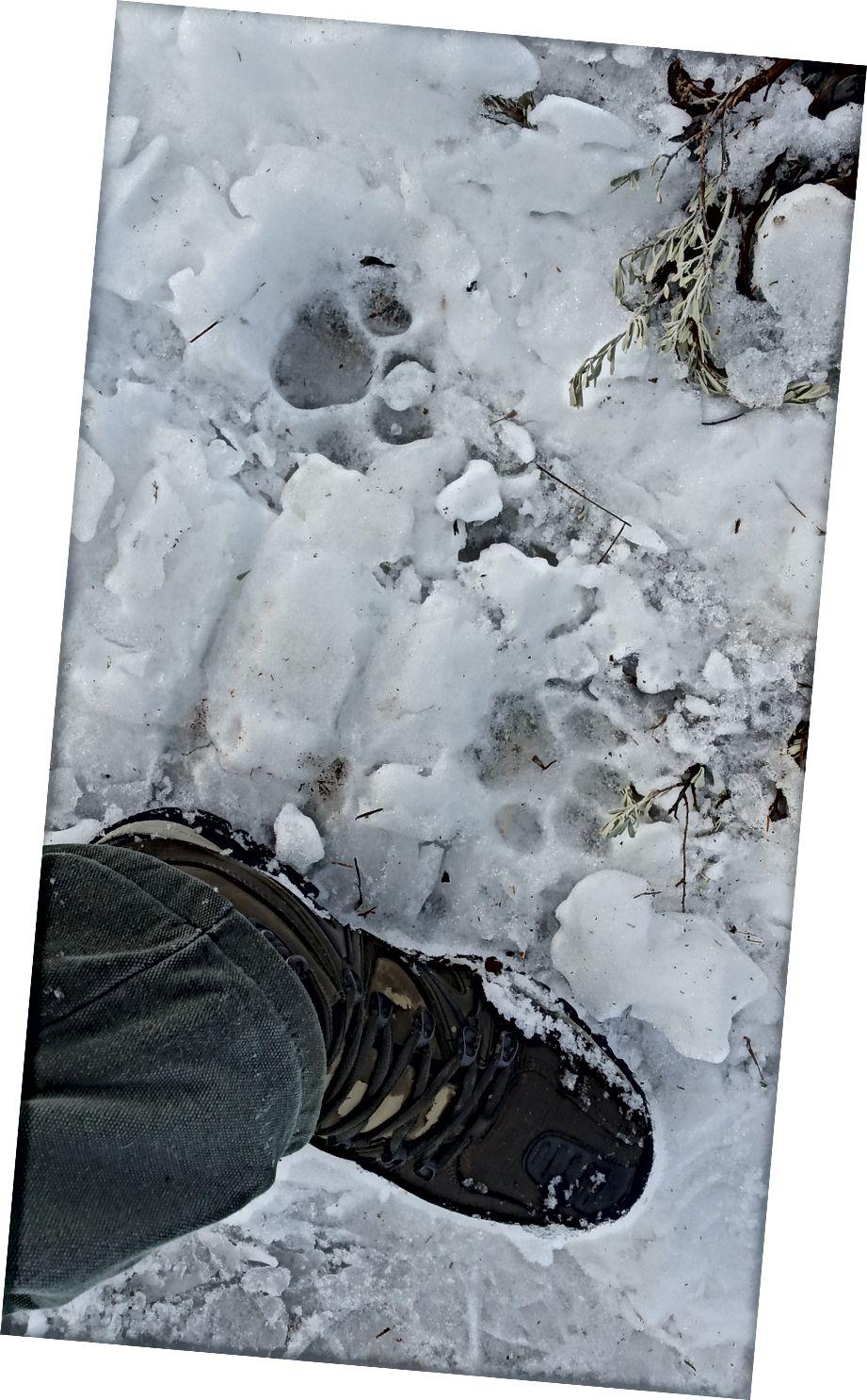 Taze dağ aslanı, saatler süren kar araci parkurlarımızın tepesinde pençeleri.