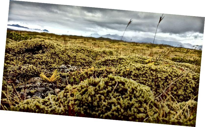 Густий мох, який покриває більшу частину Ісландії.