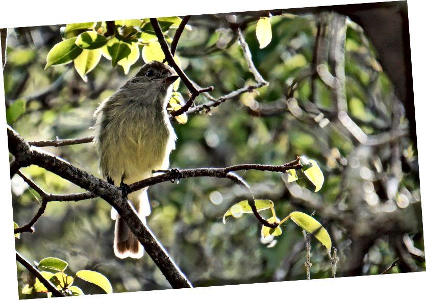 Великі та малі: коричневий пелікан Галапагоських та мухоловка Галапагоських.