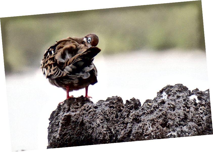 Галапагоський голуб із блакитними очима