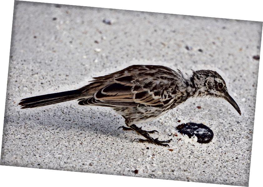 абсолютно безстрашний глузливий птах Espanola - сантиметри від мене