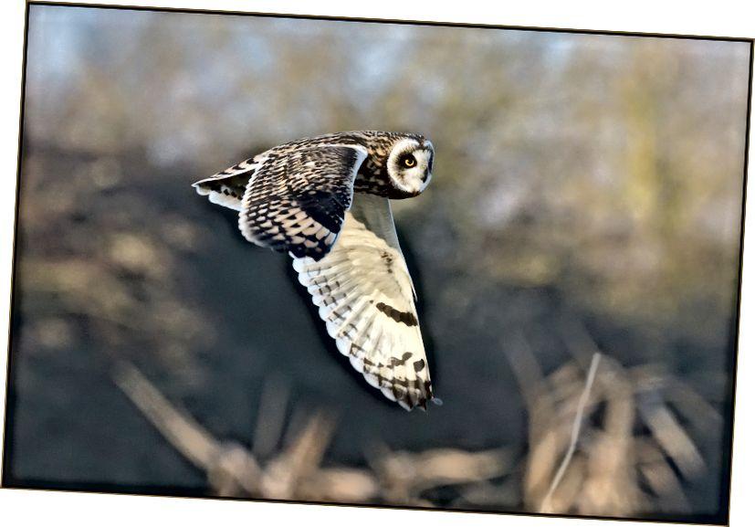 Kısa kulaklı baykuş, Flickr