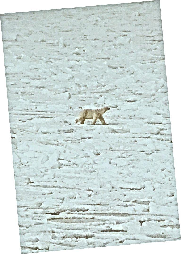 Bir mühür için uyanık bir kutup ayısı. Svalbard'a yaptığım ayrı bir seyahatten