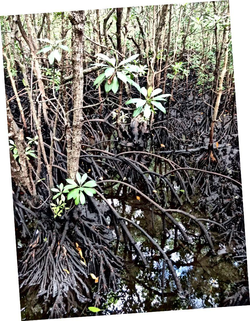 Мангрові дерева ростуть у солонистих водах, коріння яких стирчать із грязі.