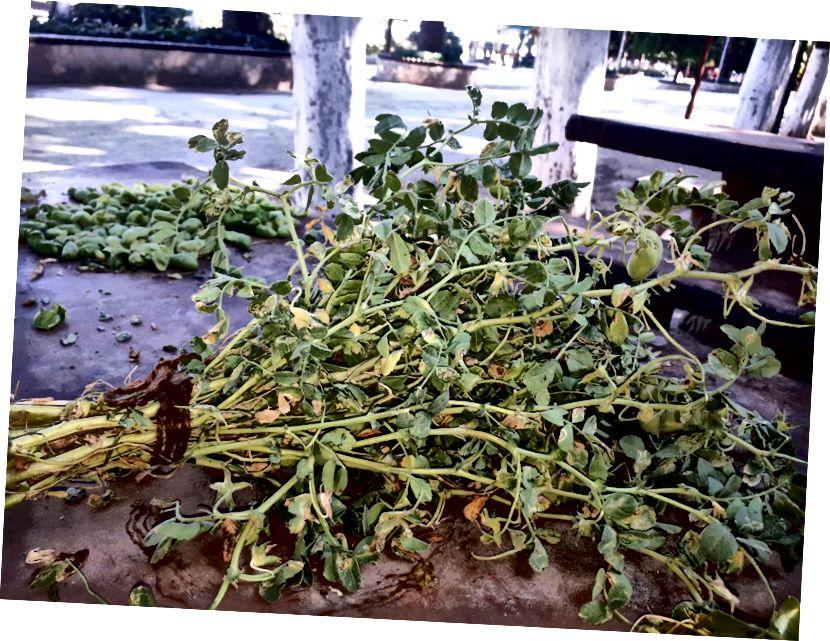 Prodaje se svježi pileći grašak u Antakyi, jedna lira gomila; jedu se i listovi