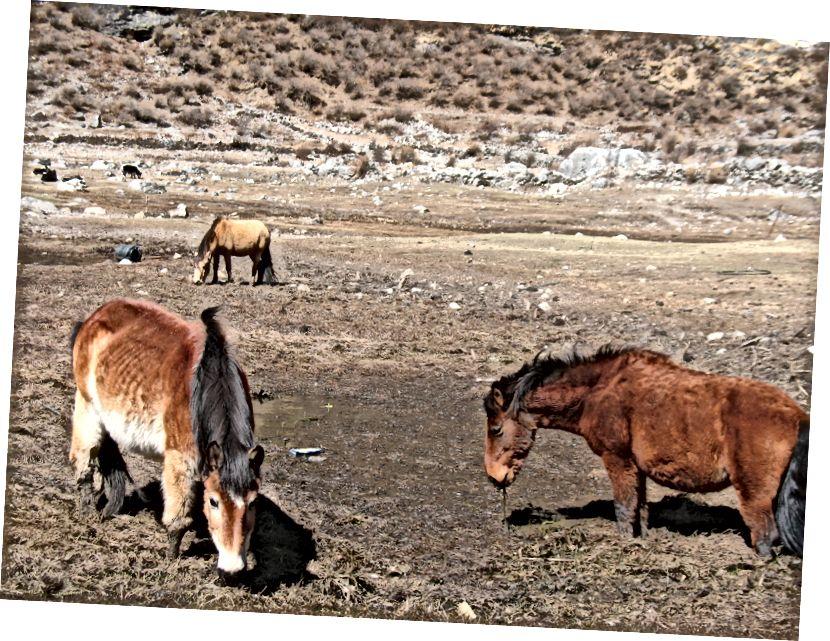 Hobused New Langtangi külas