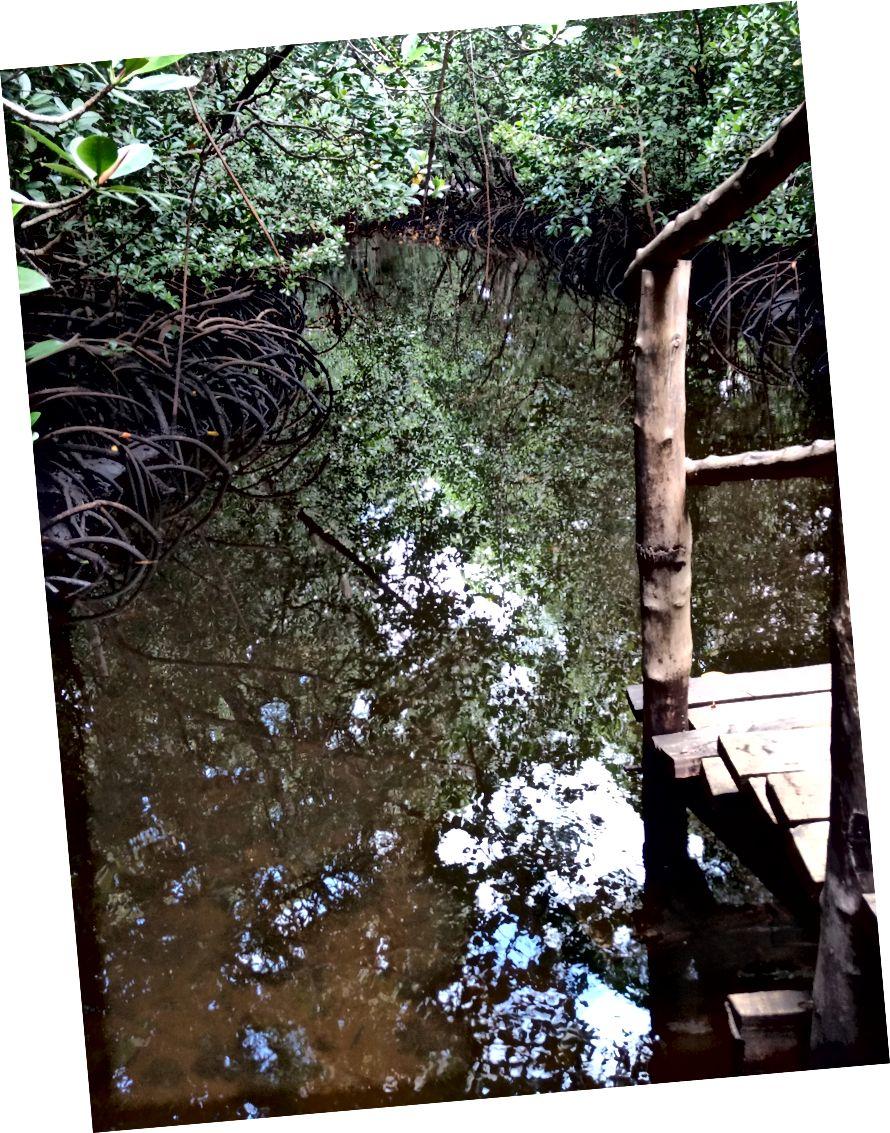 Зліва: саджанці мангрових.