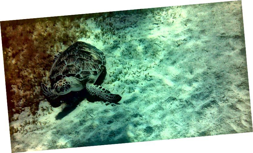 Bir Deniz Kaplumbağası tespit etmek.
