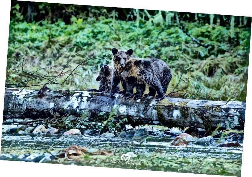 Прибережні ведмеді Грізлі є основним елементом екотуристичної галузі Великого ведмежого тропічного лісу: чинник, який враховується при розробці та впровадженні нової заборони полювання на ведмедя Грізлі, яка набуває чинності в регіоні цього листопада.