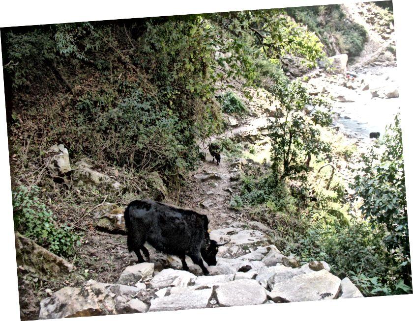 Lihtsalt mõned loomad blokeerivad rada teravate sarvedega