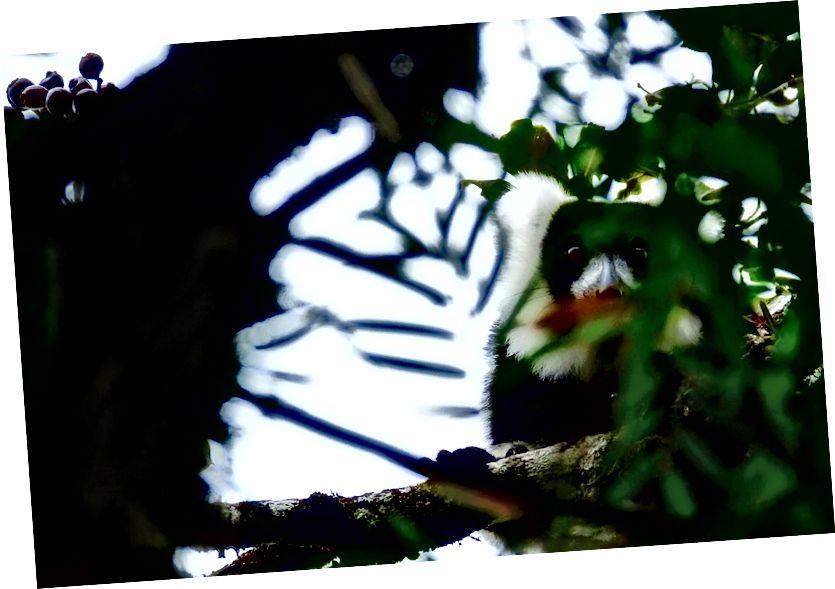 Vahşi bir siyah beyaz ruffed lemur sessizce yağmur ormanları gölgelik oturur | © Vaughn Lewis / Kültür Gezisi