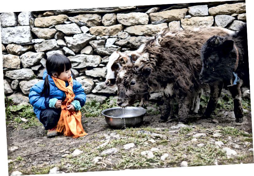 Chow nhỏ được cho ăn và tương tác với một số yak bé ở Pangboche, một ngôi làng cao 4000m so với mực nước biển. Đây có thể là một trong những điểm nổi bật của cô ấy trong chuyến đi.