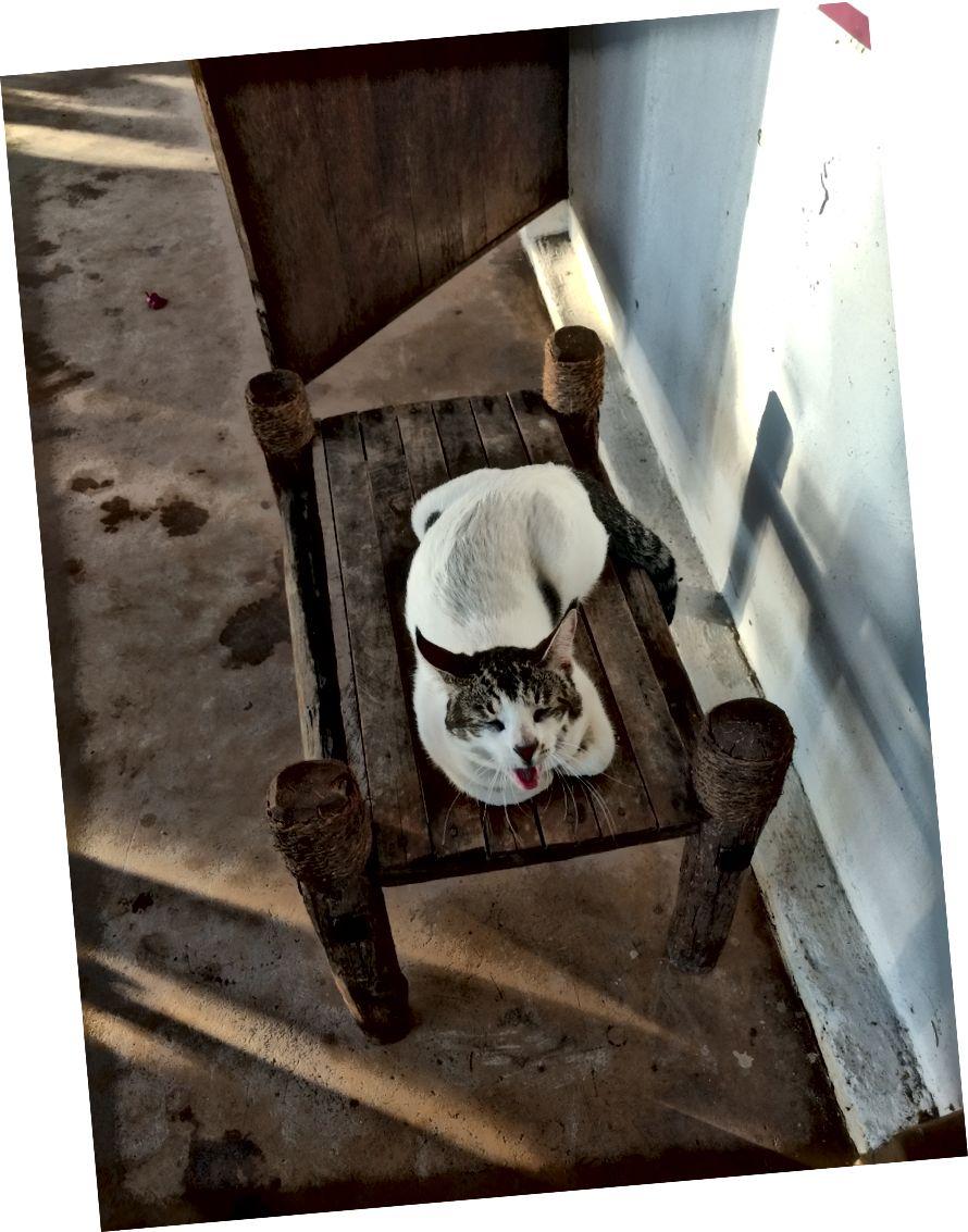 Mèo ngáp