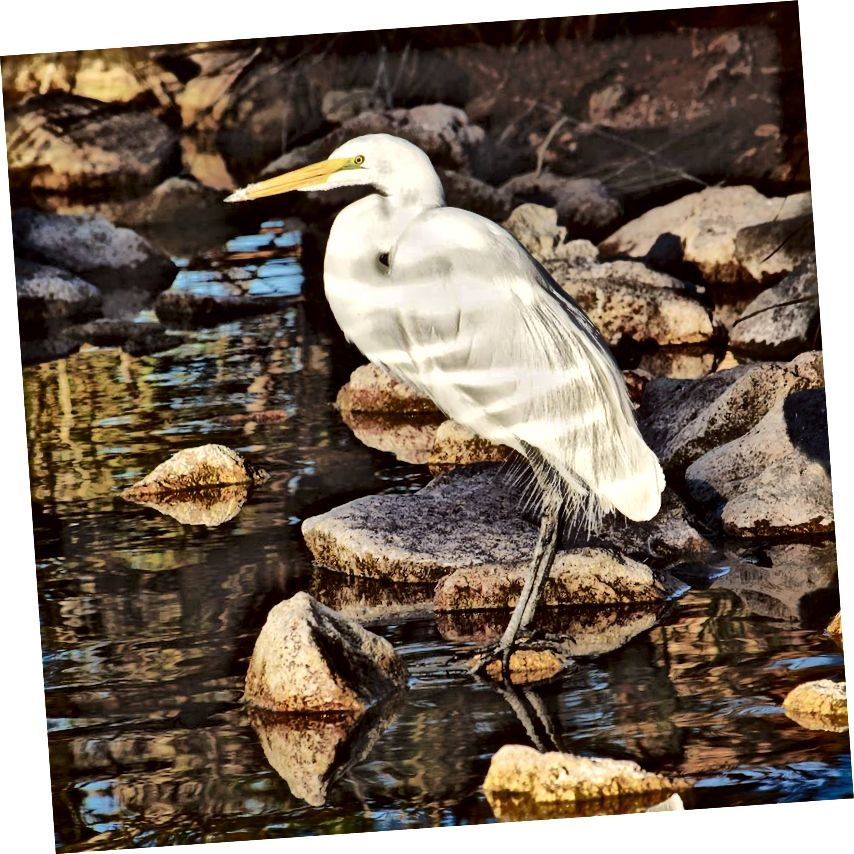 Amerikaanse zilverreiger (Ardea alba egretta) bij het meer Papago Park. Deze vogels werden eind 19e eeuw bijna met uitsterven bedreigd vanwege hun pluimen, maar pogingen tot instandhouding, waaronder enkele van de eerste wetten om vogels te beschermen, brachten ze terug van de rand.