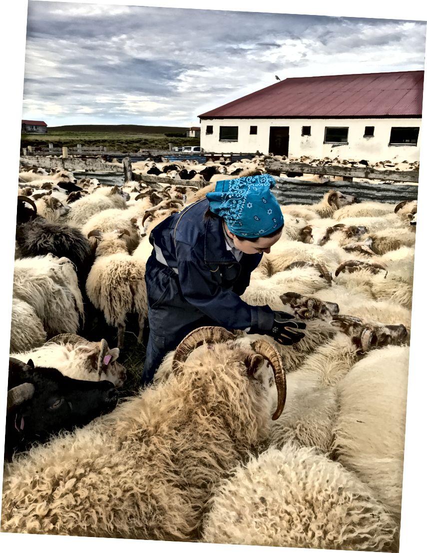 """Avių rūšiavimas """"Réttir"""" metu - 2017 m. Rugsėjis - Derek nuotr"""