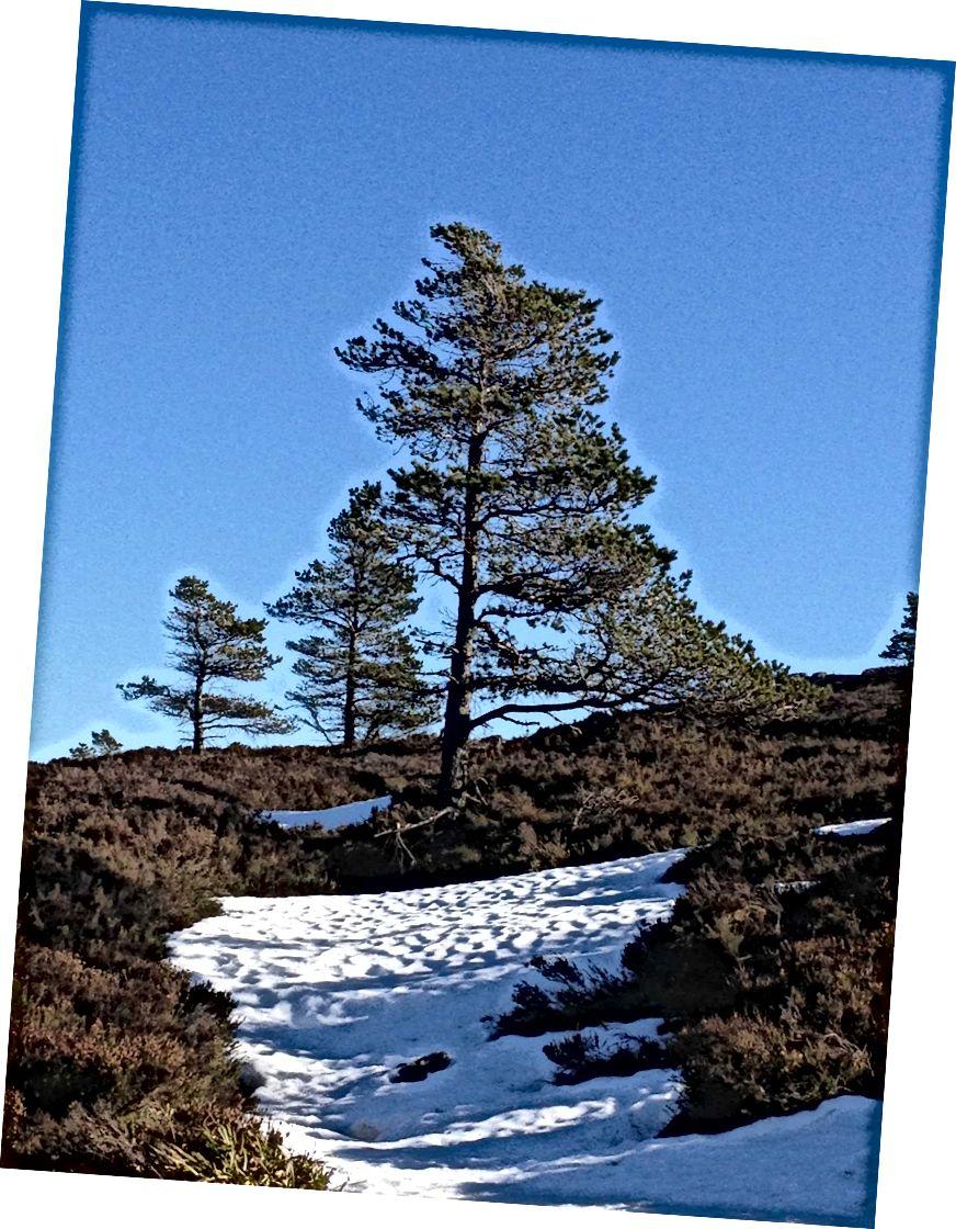 Scots Thông và sự thay đổi của các mùa
