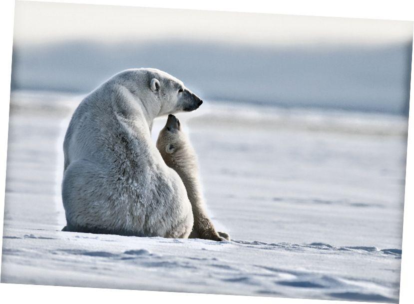Арктична притулок має вирішальне значення для заперечення білого ведмедя. Фото Грегорі Камеро, ввічливість. Поділіться досвідом.