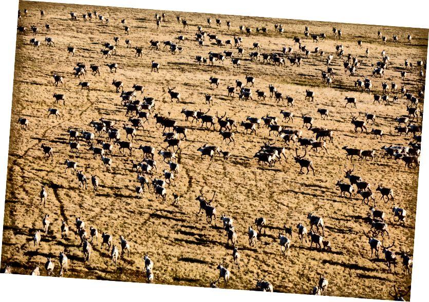 Карібу мігрує тисячами по всій тундрі в арктичній Національній притулку для дикої природи. Зображення Флоріана Шульца.
