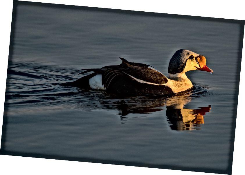 Цар-ейдер - один із багатьох видів птахів, які покладаються на арктичну притулок. Зображення Пітера Матера.