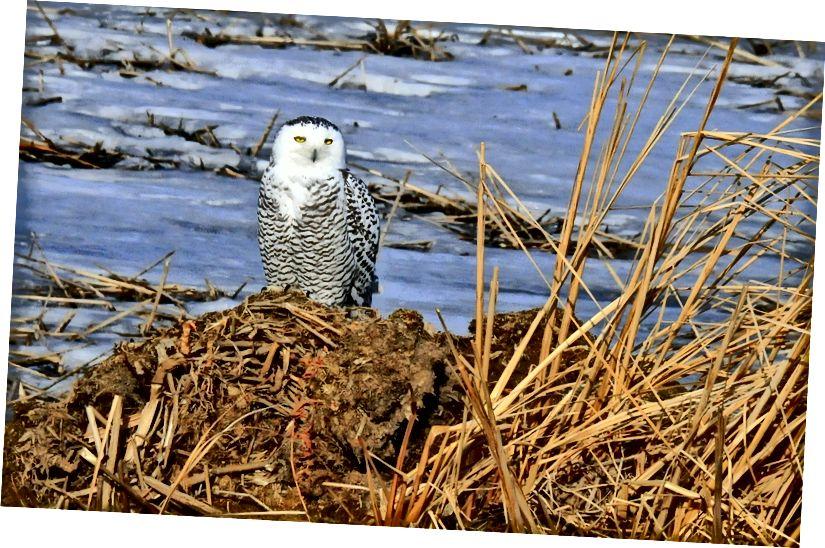 Сніжна сова на території національної притулку для дикої природи в Південній Дакоті. Том Кернер, Служба риб і диких тварин США.