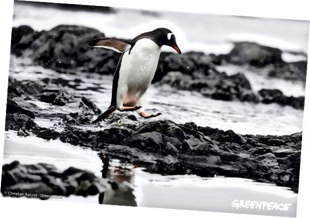 Chim cánh cụt Gentoo ở Nam Cực, ngày 17 tháng 1 năm 2018