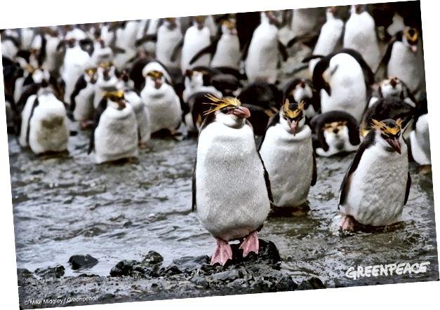 Chim cánh cụt Macaroni, đảo Macquarie, ngày 1 tháng 2 năm 1990