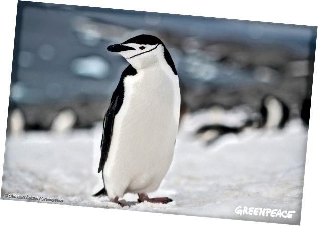 Chim cánh cụt Chinstrap ở Nam Cực, ngày 17 tháng 1 năm 2018