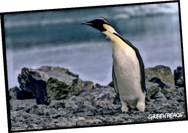 Hoàng đế Penguin ở Nam Cực, ngày 1 tháng 1 năm 1989