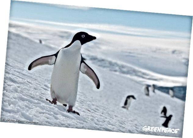 Thuộc địa chim cánh cụt Adélie ở Nam Cực, ngày 17 tháng 1 năm 2018