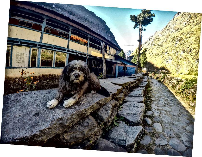 Nie ma piękniejszego znaku niż dostrzeżenie owłosionego owczarka himalajskiego (pies Bhutia). Psy te słyną z ochrony owiec i zwierząt gospodarskich przed niebezpiecznymi dzikimi kotami i od czasu do czasu noszą nieskomplikowany himalajski pas.