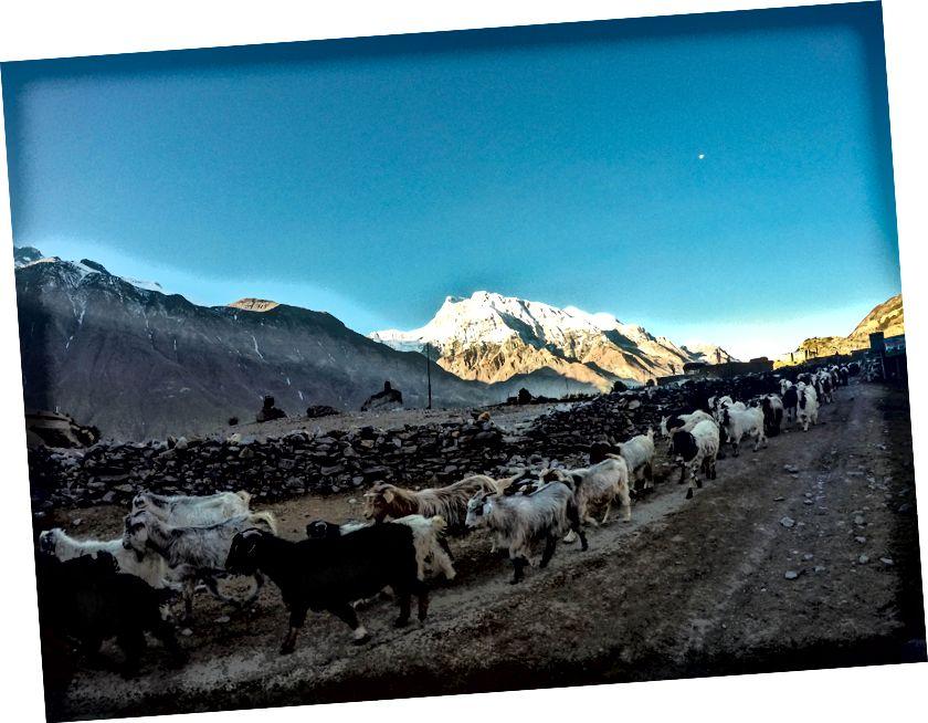 Kozy z Ngawal | Annapurna III widziana w tle, a księżyc wciąż świeci wczesnym rankiem