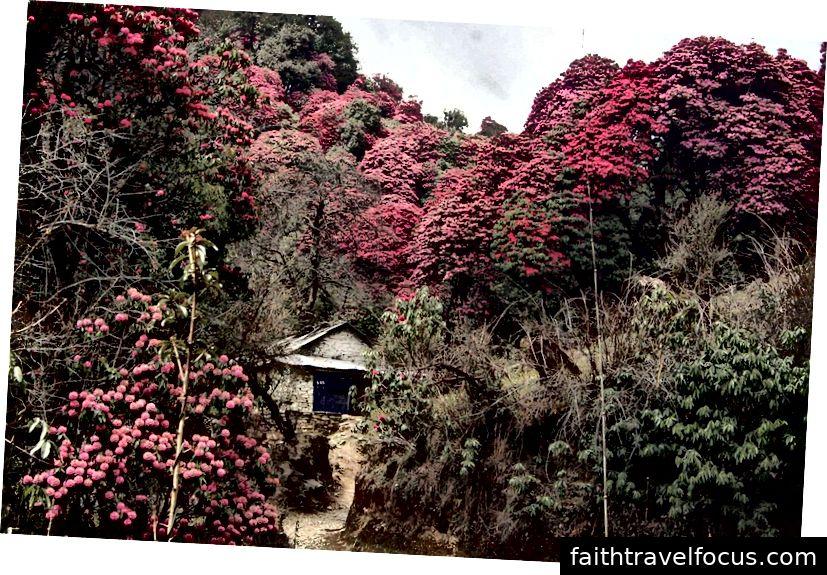 Rừng đỗ quyên, Vùng Manaslu