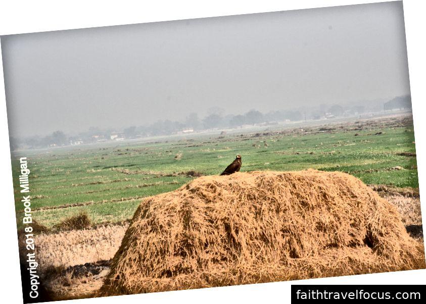 Đây là một con đại bàng chỉ ngồi trên đống cỏ khô.