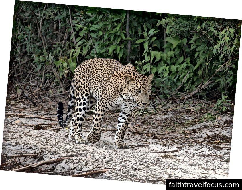 Tín dụng hình ảnh- Gihan Jayaweera, Leopard tại Vườn quốc gia Wilpattu, CC BY-SA 3.0