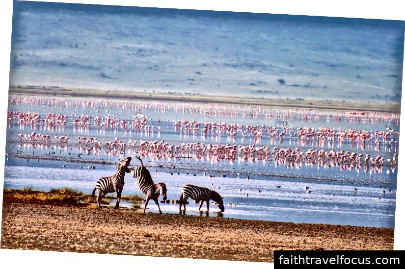 Khung cảnh miệng núi lửa Ngorongoro với ngựa vằn và chim hồng hạc tận hưởng thiên nhiên thực sự.