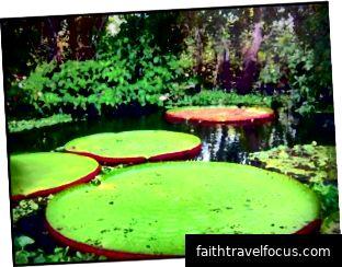 Lillies của sông Amazon