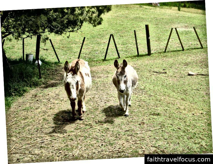 Hai con lừa được nuông chiều của chúng tôi ở Waitakere, New Zealand