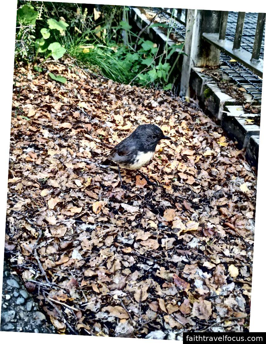 Robin đảo nhỏ thân thiện
