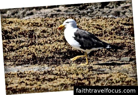 Nữ Satin Bowerbird & Pacific Gull đi dạo.