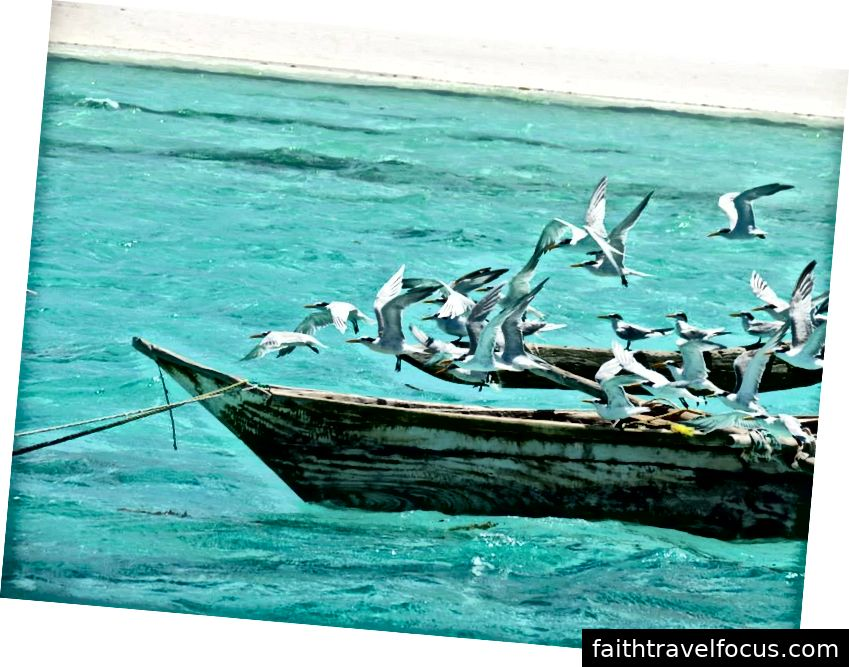 Chim nhạn đang bay từ một chiếc thuyền gỗ, Zanzibar © Lindsay Linegar 2014