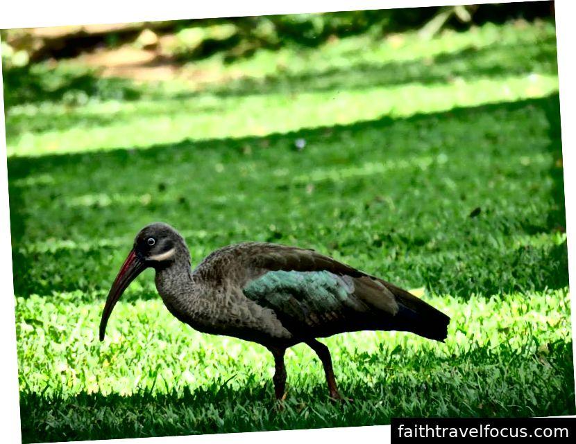 Hadeda Ibis | Kenya | 2012
